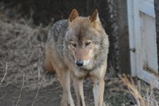 多摩動物公園のオオカミの画像005