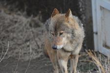 多摩動物公園のオオカミの画像006