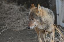 多摩動物公園のオオカミの画像007