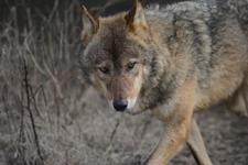 多摩動物公園のオオカミの画像008