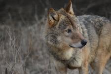 多摩動物公園のオオカミの画像009