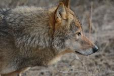多摩動物公園のオオカミの画像010