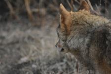 多摩動物公園のオオカミの画像011