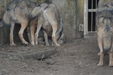 多摩動物公園のオオカミの画像012
