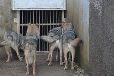 多摩動物公園のオオカミの画像013