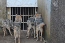 多摩動物公園のオオカミの画像014