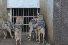 多摩動物公園のオオカミの画像015