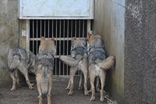 多摩動物公園のオオカミの画像016