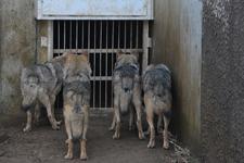 多摩動物公園のオオカミの画像017