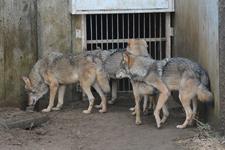 多摩動物公園のオオカミの画像018