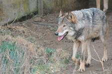 多摩動物公園のオオカミの画像019