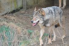 多摩動物公園のオオカミの画像020
