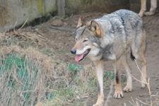 多摩動物公園のオオカミの画像021