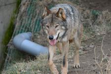 多摩動物公園のオオカミの画像022
