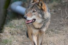多摩動物公園のオオカミの画像024