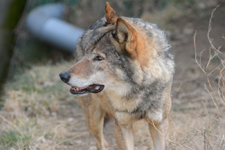 多摩動物公園のオオカミの画像025