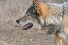 多摩動物公園のオオカミの画像029