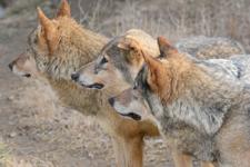 多摩動物公園のオオカミの画像032