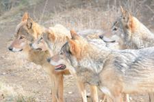 多摩動物公園のオオカミの画像033