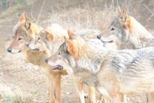 多摩動物公園のオオカミの画像034