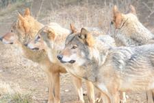 多摩動物公園のオオカミの画像035