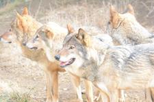 多摩動物公園のオオカミの画像036