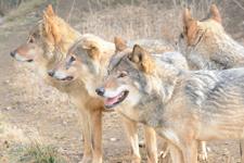 多摩動物公園のオオカミの画像037