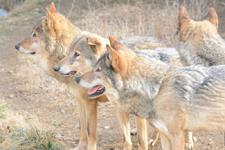 多摩動物公園のオオカミの画像038