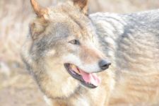 多摩動物公園のオオカミの画像040