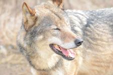 多摩動物公園のオオカミの画像041