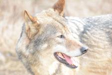 多摩動物公園のオオカミの画像042