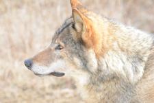 多摩動物公園のオオカミの画像045