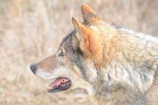 多摩動物公園のオオカミの画像046