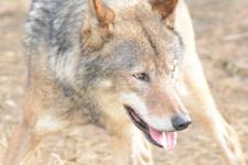 多摩動物公園のオオカミの画像047
