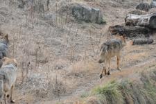 多摩動物公園のオオカミの画像048