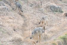 多摩動物公園のオオカミの画像049