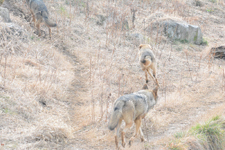 多摩動物公園のオオカミの画像050