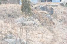 多摩動物公園のオオカミの画像051