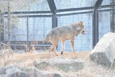 多摩動物公園のオオカミの画像052