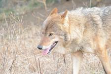 多摩動物公園のオオカミの画像053