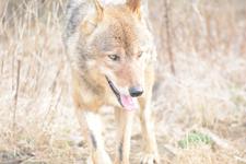 多摩動物公園のオオカミの画像054
