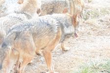 多摩動物公園のオオカミの画像061