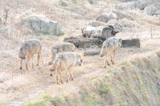 多摩動物公園のオオカミの画像062