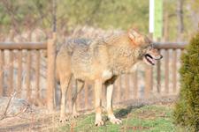 多摩動物公園のオオカミの画像063