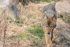 多摩動物公園のオオカミの画像064