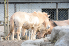 多摩動物公園のモウコノウマの画像001