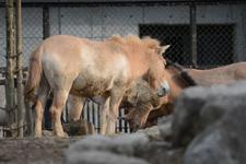 多摩動物公園のモウコノウマの画像003