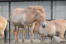 多摩動物公園のモウコノウマの画像006