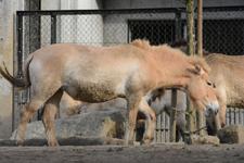 多摩動物公園のモウコノウマの画像008