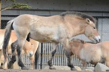 多摩動物公園のモウコノウマの画像010
